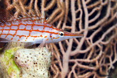 Longnose hawkfish (oxycirrhites typus) in de Red Sea. Stock Images
