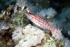 Longnose hawkfish (oxycirrhites typus) in de Red Sea. Stock Photo