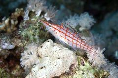 Longnose hawkfish (oxycirrhites typus) in de Red Sea. Stock Photo