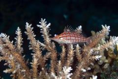 Longnose hawkfish (oxycirrhites typus) in de Red Sea. Stock Photography