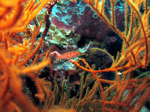 Longnose Hawkfish. (oxycirrhites typus) hiding amongst coral Royalty Free Stock Image
