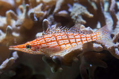 Longnose hawkfish Oxycirrhites typus. Stock Photo