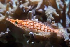 Longnose hawkfish Oxycirrhites typus. Marine fish Stock Photos