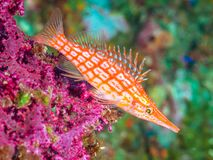 Longnose hawkfish, Oxycirrhites typus. SCUBA, Bali. Close-up of orange longnose hawkfish, Oxycirrhites typus, perched on a purple Gorgonia. Shallow depth of