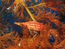 Longnose Hawkfish. Oxycirrhites typus. Taken at Ras Zatar in Sharm el Sheikh Stock Image