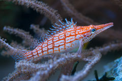 Longnose hawkfish (Oxycirrhites typus). Stock Photo