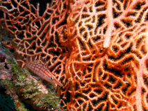 Longnose hawkfish and pink sea fan Royalty Free Stock Images