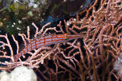 Longnose hawkfish in the Red Sea. Royalty Free Stock Image