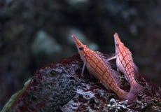 Longnose Hawkfish at Shedd Aquarium Stock Image