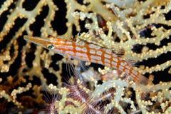 Longnose hawkfish (typus Oxycirrhites) Royalty-vrije Stock Afbeeldingen