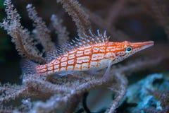 Longnose hawkfish & x28; Typus& x29 Oxycirrhites; стоковая фотография rf