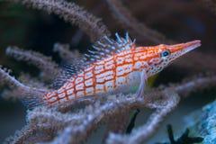 Longnose hawkfish (typus oxycirrhites) стоковое фото