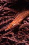 longnose oxycirrhitestypus för hawkfish Arkivbilder