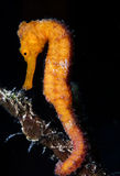 Longnose seahorse,(Hippocampus trimaculatus) Royalty Free Stock Photos