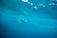 longnose unicornfish Royaltyfri Fotografi