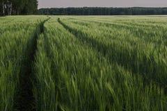 Longo caminho no campo de trigo Fotografia de Stock Royalty Free