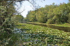 Longoz landscape. Water lily in longoz Stock Image