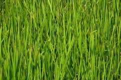 Longoz Marshes. Acarlar longoz karasu Royalty Free Stock Photography