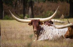Longs bétail à cornes exotiques image stock