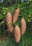 Longs cônes impeccables sur l'arbre de picéa de branche dans la forêt Photo libre de droits