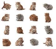 Longs chatons britanniques de cheveux Images libres de droits