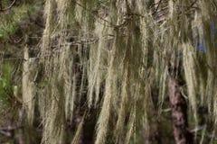 Longs cheveux de barbata d'Usnea Vieille forêt de pin dans Ténérife, canarien Image libre de droits