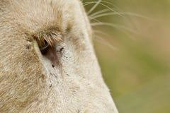 Longs cils de lions blancs photos stock