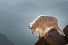 Longs moutons de klaxon photos libres de droits