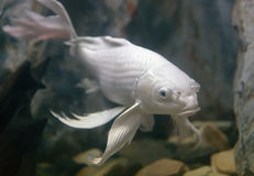 Longs poissons de carpe de fantaisie d'aileron Images libres de droits