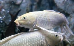 Longs poissons de carpe de fantaisie d'aileron Image stock