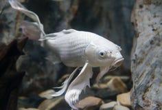 Longs poissons de carpe de fantaisie d'aileron Photo libre de droits