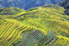 Longshen Rice Fields III Stock Photo