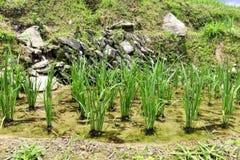 Longsheng Rice Terrace,Guilin Stock Image
