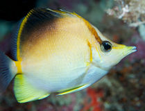 longsnout butterflyfish Стоковая Фотография