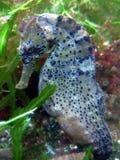 longsnout seahorse Obrazy Stock