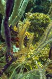 Longsnout seahorse i korall Arkivfoto