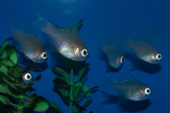 Longspine深红鱼小组 库存照片