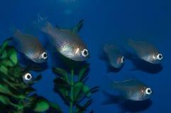 Longspine Cardinalfish Group Stock Photo