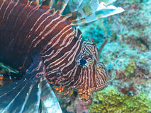 Longspine Lionfish, Great Barrier Reef, Australien Lizenzfreie Stockfotos