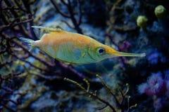 Ocean fish Longspine snipefish - Macroramphosus scolopax royalty free stock image