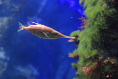 Longspine snipefish Royalty Free Stock Photos