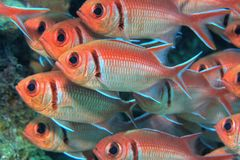 Longspine squirrelfish. Schooling under ledge Royalty Free Stock Photos
