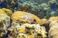 Longspine squirrelfish Royaltyfri Bild