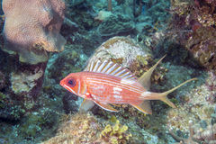 Longspine-Squirrelfish Stockbild