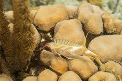 Longspine squirrelfish Royalty Free Stock Photos