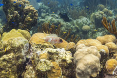Longspine squirrelfish Stock Image