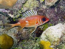 Longspine Squirrelfish (rufus Holocentrus) Royalty-vrije Stock Foto