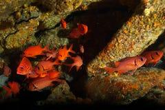 Longspine squirrelfish, svart stångsoldatfisk som skolar under le arkivbilder