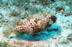 Longspined Porcupinefish Royalty-vrije Stock Foto's