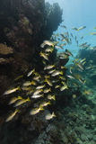 Longspot snappers (lutjanus fulviflamma) in the Red Sea. Royalty Free Stock Images